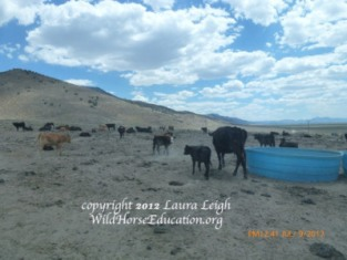 Livestock grazing in Diamond. The Goicohea ranch borders Diamond, the birthplace of the NACO suit to remove and destroy wild horses. One more push by the state and counties.