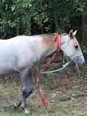 Image and video of this horse at Polk have gone viral in social media. A failed attempt to capture left this horse with difficulty breathing and in danger of strangulation