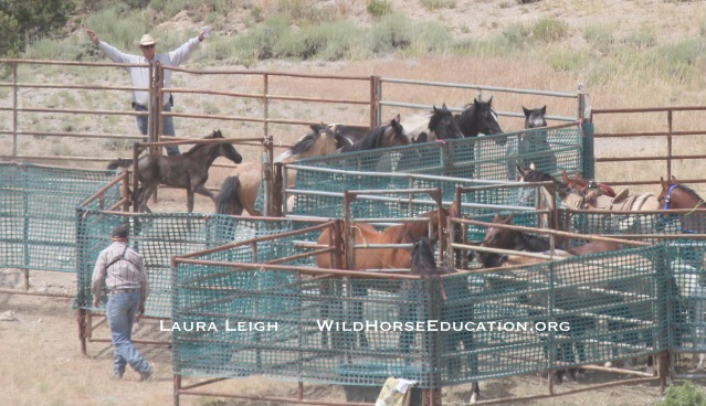 The second group was run over the dead mare as they tried to move them through the gate.