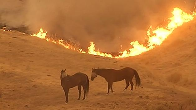 Wragg fire in 2015, domestic horses turned loose (ABC photo)