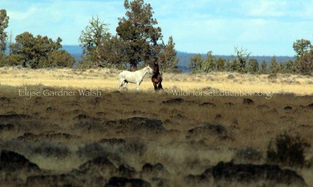 2464-WILD-WHITEMARE-ROANSTUD-DG-LOVE